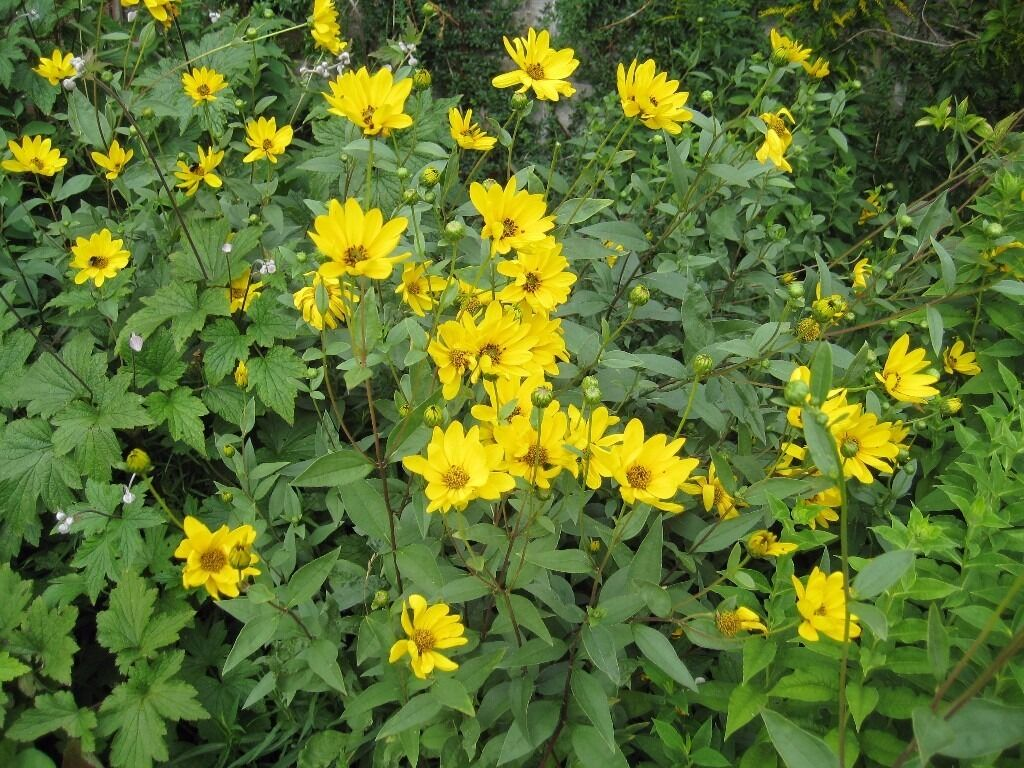 Perennial Tall Yellow Daisy Name Unknown In Cambridge