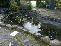 Koi fish and other fish