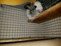 Gorgeous Mosaic Female Chinchilla and Cage