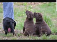 Chunky labrador puppies for sale