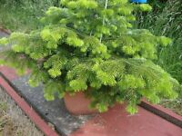 growing christmas tree in planter