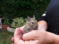 7 Degu male babies for sale handled daily VERY FRIENDLY can deliver