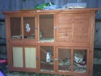 Rabbit for sale with Outdoor twin hutch