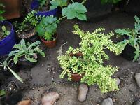 Plants for sale-Several Lonicera Nitida `Baggesen's gold' plants