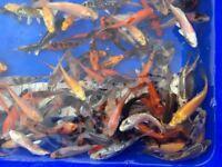Koi Carp 2-3 3-4 4-5 5-6 Inch High Quality Koi Healthy and friendly feeding by hand-Ready Now