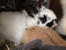 9 week old Rabbits £10 each or pair £15