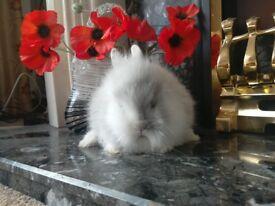 Baby lion head doe rabbit