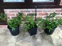 Garden plants: Weigela Florida plants. Collect Fulham