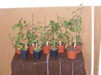 JOB LOT OF 9 ASSTD FUCHSIA PLANTS