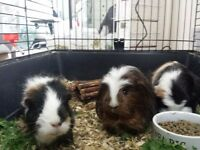 Guinea pigs free to a good home.