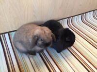 Mini Lop Bunnies + Executive Style Hutch (Nearly New, Excellent Condition) For Sale