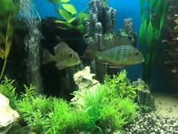 tropical geophagus suriname (earth eaters)