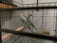 3 baby budgies and cage