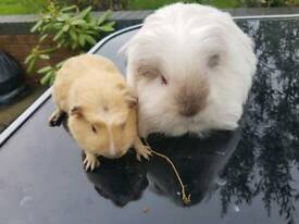 Bonded Guinea Pigs