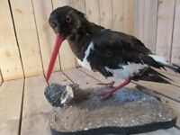 Taxidermy Oystercatcher sea bird