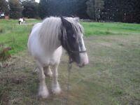 cob horse 2 of