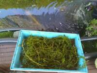 Pond plant oxygenating