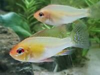 German Ram Cichlid Tropical Fish