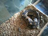 2x ball python
