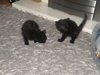 lovely little kittens ready for new home