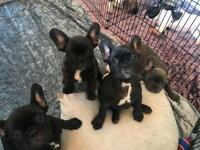 French Bulldog Pups Puppies Frenchie
