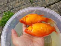 Gold fish different size