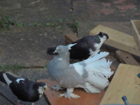 *** 2 pigeons for sale £20 both***
