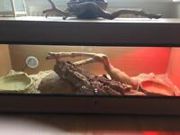 4 ft California King Snake and 4ft vivarium set-up