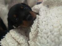 Beautiful jackshund puppies