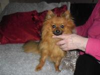 Lovely Male Pomeranian Small Dog