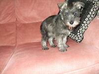 Miniature Schnauzer girl puppy - lovely and friendly - one left
