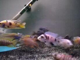 TROPICAL FISH, MALAWI CICHLIDS, ORANGE BLOTCH 8CM