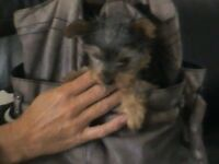 YORKSHIRE TERRIER PUP MALE 12Weeks old Very TINY VERY LOVEABLE FIRST TO SEE WILL BUY