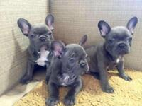 Blue french bull dog puppies