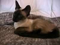 seal point female siamese kitten