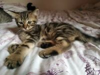 Mixed bengal kittens for sale