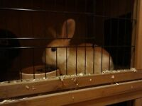2 x Rabbits Netherland Fawn Brown Black 2 month old Hutch Food Straw toys etc.. all Included Sawdust