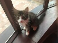 Cute gorgeous Cross Persian fluffy kitten