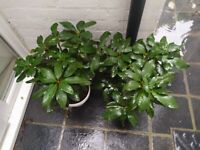 Rhododendron outdoor plant evergreen - pink