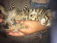 2 beautiful bengal kittens!!