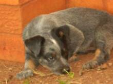 PURE BRED CATTLE DOGS            BREEDERS NB AN******2011/BAPNA Lawnton Pine Rivers Area Preview