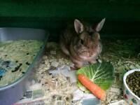 Male dwarf rabbit with hutch