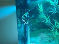 Angel fish 5 inches long needing new home with big tank