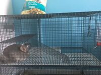 1 year old male light grey chinchilla and cage