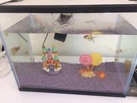 Gold fish with fish tank