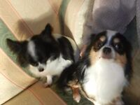 4 AND A HALF YEAR MALE CHIHUAHUA TRI-COLOUR & 8 YEAR OLD BLACK AND WHITE FEMALE