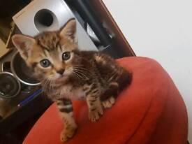 8 weeks old tabby