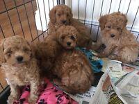 F1 b caverpoo puppies