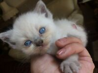 British shorthair female lilac & Blue kittens