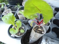 Plants for sale-Swiss chard plants in fabric pot-20p each